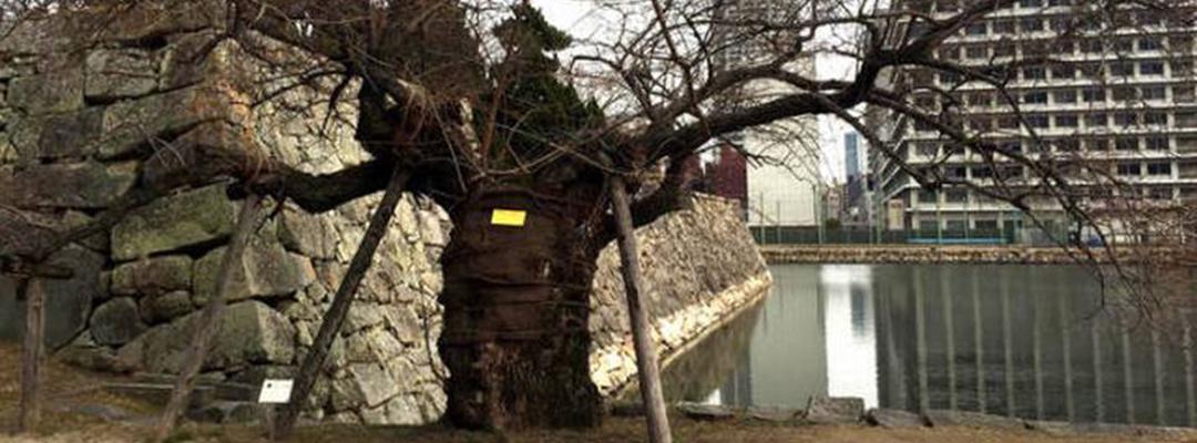 Un copac ce a supraviețuit bombei atomice din Hiroshima