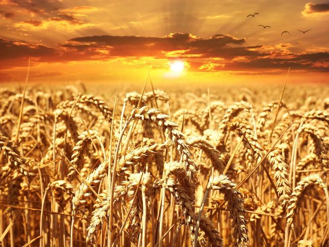România și Ucraina domină exporturile de grâu către Egipt