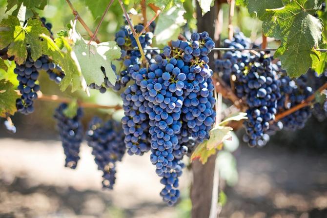 Curand, o țară viticolă