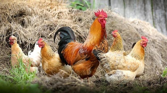 Majoritatea găinilor din România trăiesc la curte