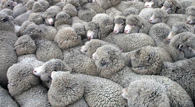 Lâna oilor ar putea fi folosită la izolarea termică a locuințelor