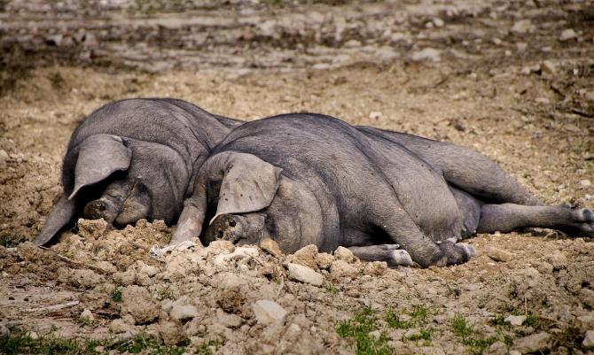 Pesta porcină, principala amenințare în sectorul zootehnic