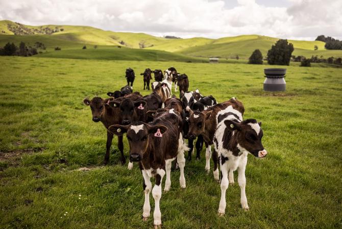 Noua Zeelandă are mai multe vaci decât oameni