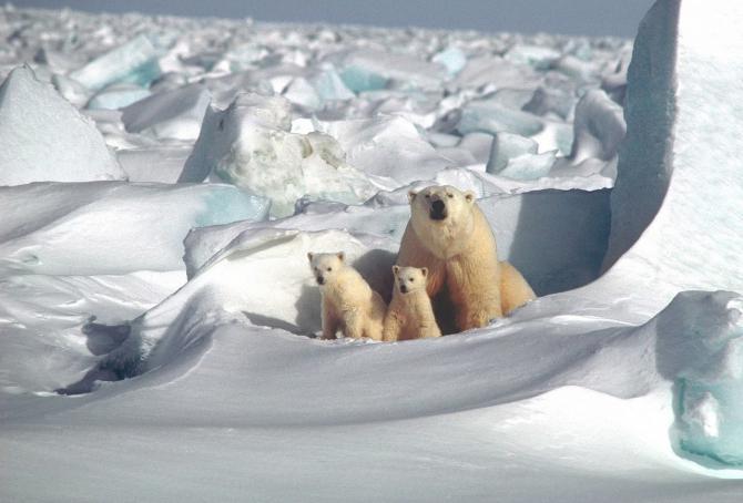 Urșii i-au înspăimântat pe locuitorii din Novaia Zemlia