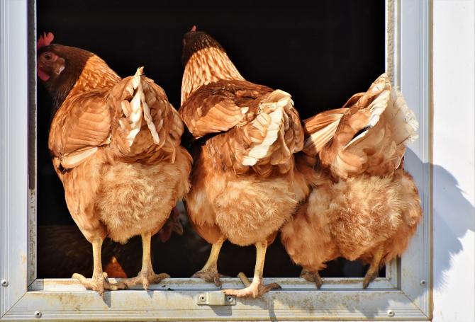 Găinile vor primi hrana specială