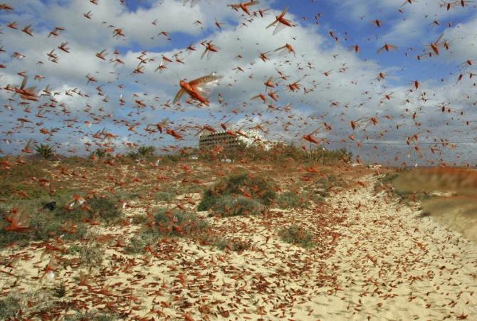 Invazia de lăcuste din Sardinia a distrus 2.000 de hectare de culturi