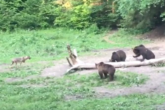 Prietenie neobișnuită între un lup și mai mulți urși
