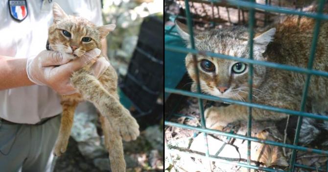 Pisica-vulpe, descoperită în Corsica