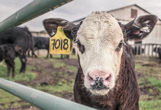 Efectivele de bovine