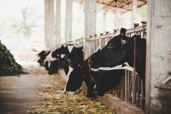 Danone susține că laptele vacilor din România nu se ridică la nivelul celui din Franța