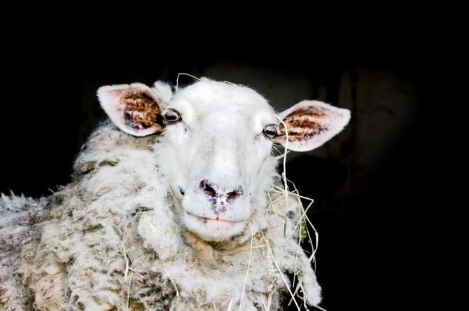În Sibiu se va construi un centru de colectare a lânii