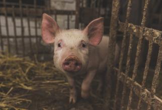 Dezbatere CIUDATĂ! Porcii sunt animale de companie mai bune decât câinii