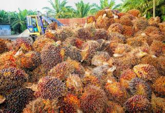 Industria uleiului de palmier, o amenințare pentru mediu