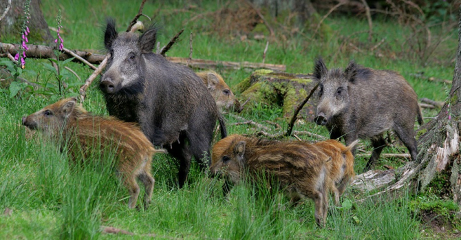 Polonia a identificat în ultima lună 55 de focare de pestă porcină africană la mistreţi sălbatici în apropiere de graniţa cu Germania