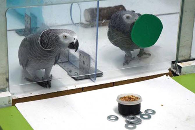 Oamnii de știință sunt uimiți de comportamentul acestor papagali