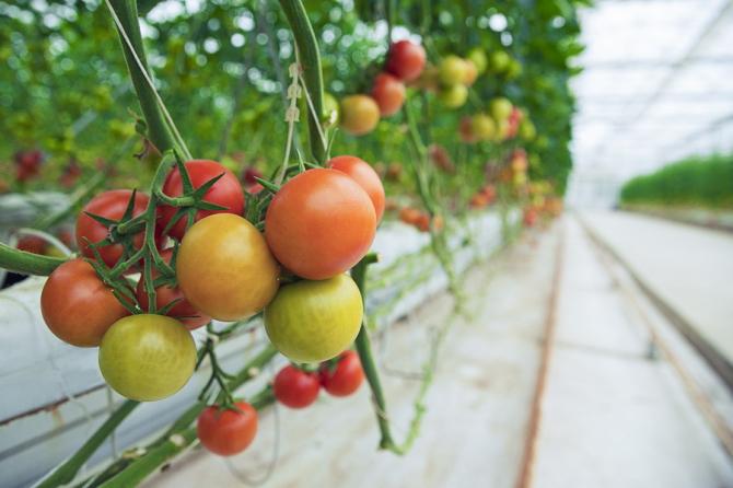 Programul tomata continuă și în 2020