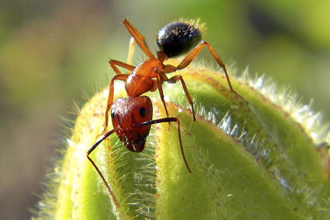 Furnica Camponotus floridanus