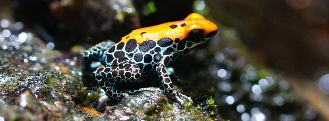 Broască exotică