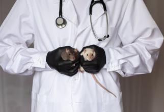 Un hibrid de șoarece-om creat la Universitatea de Stat din New York și Roswell Park Cancer Center conține aproximativ 4% din celulele umane