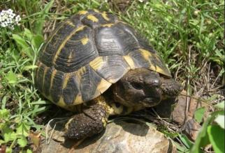 Țestoasa de Dobrogea