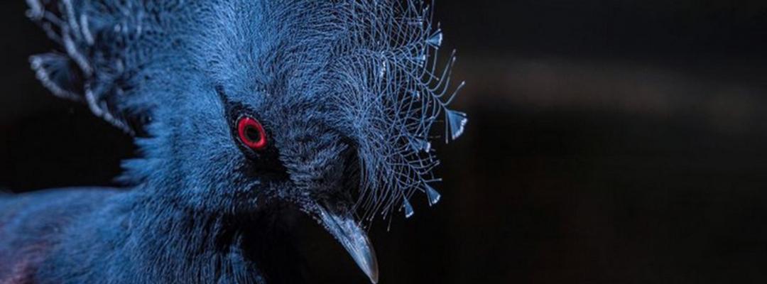 Porumbel crestat