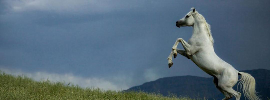 Cal sălbatic