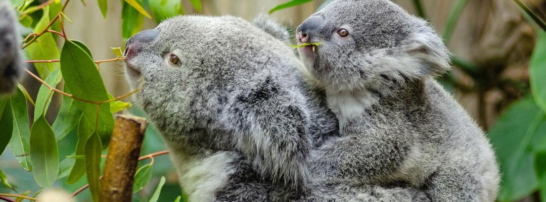 Ursi Koala