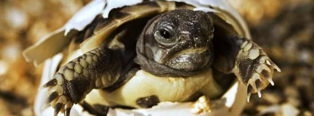 Pui de țestoasă de Galapagos