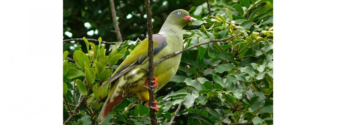 Porumbel Treton Calvus