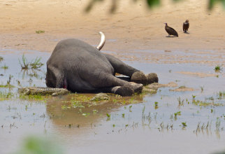 Sute de elefanți morți