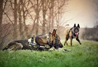 Câinii pot fi antrenați să depisteze SARS-CoV-2 dar există un risc