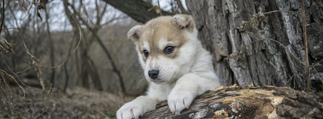 Pui de Husky