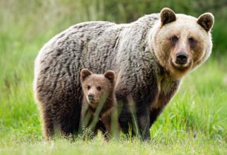 Scene de groază: A dat intenționat cu mașina peste o ursoaică și puii ei! Chiriac, Wildlife România, AVERTISMENT: ASTA e cauza!