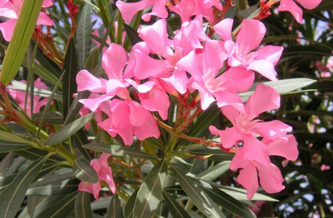 Leandrul este o plantă deosebit de otrăvitoare