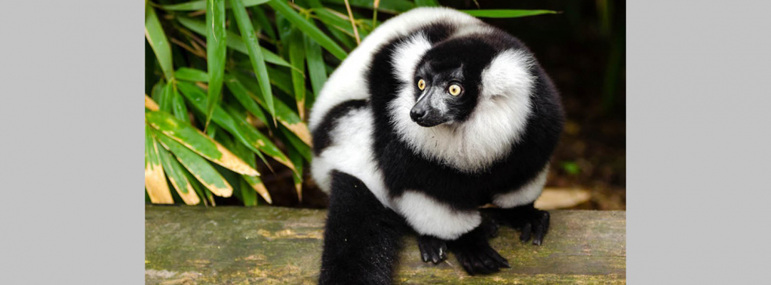 Animale în alb și negru (lemur)