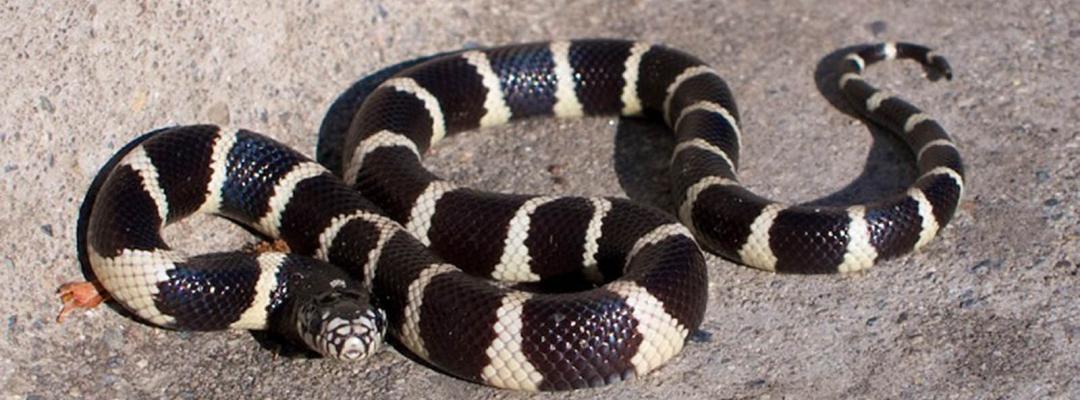 Animale în alb și negru (California Kingsnake)