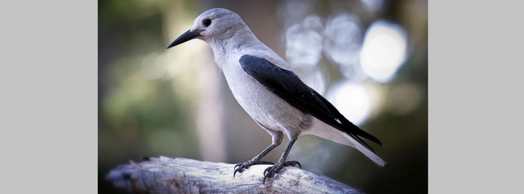 Animale în alb și negru (spărgător de nuci)