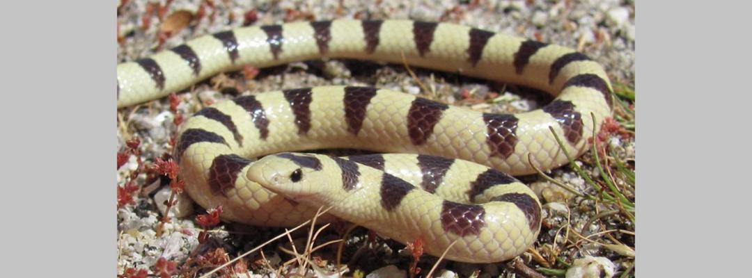 Animale în alb și negru (Mojave Shovelnose)