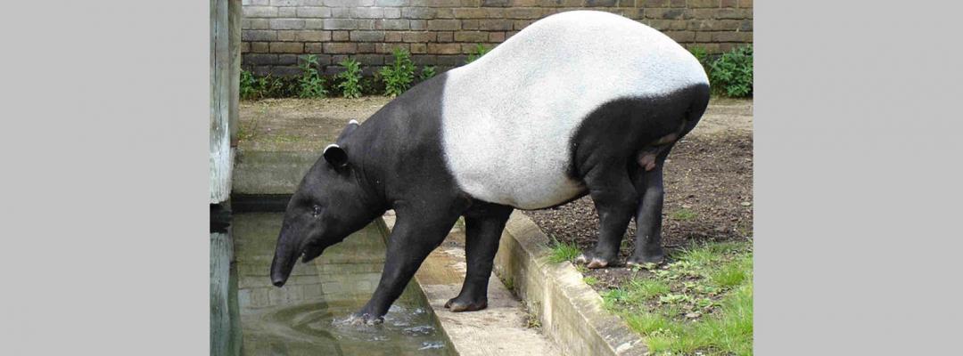 Animale în alb și negru (Tapir malaezian)