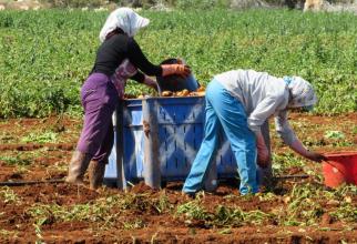 Cartofii la producători se vând cu un preț incredibil față de cel cu care aceste legume ajung să se vândă în magazine