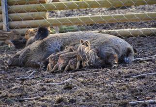 SUper-porcii se înmulțesc într-un ritm infernal