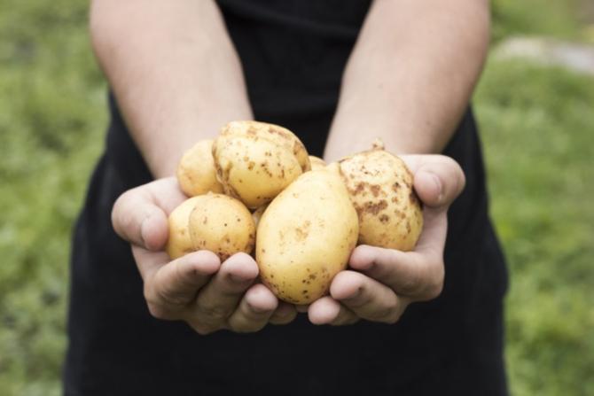 Producătorii de cartofi din Harghita au o problemă nemaiîntâlnită până acum