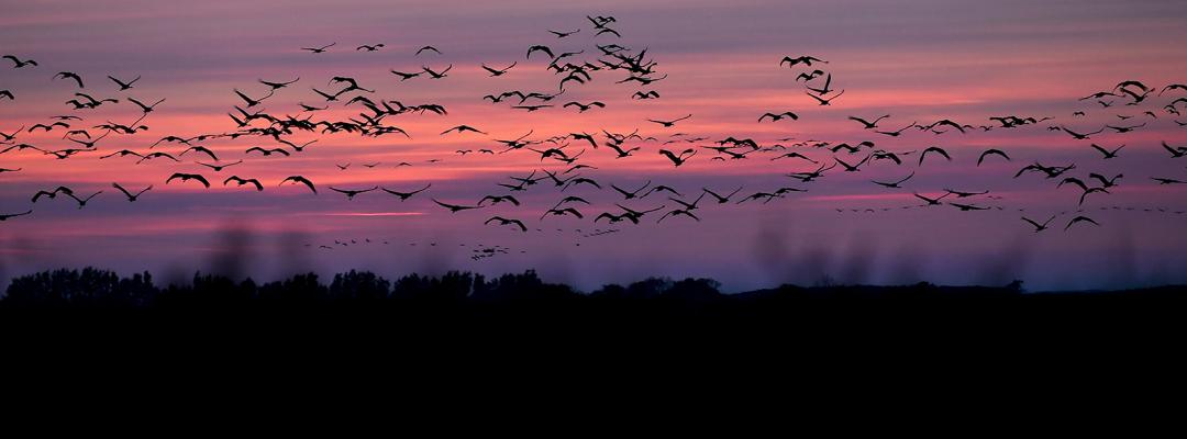 Păsări călătoare pleacă spre țările calde