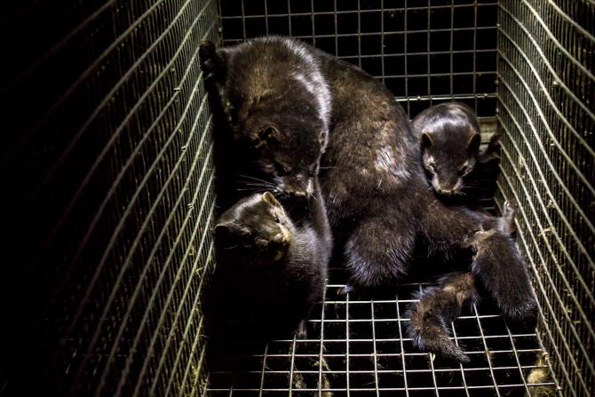 Crescătorii de nurci trebuie să eutanasieze animalele