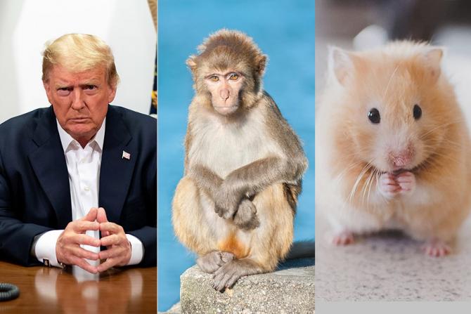 Tratamentul primit de Donald Trump este acum testat pe macacii rhesus și hamsteri