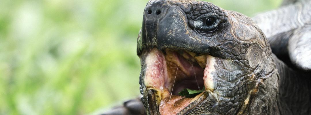 Țestoasă, Galapados