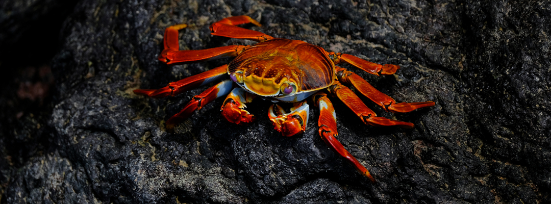 Crab, Galapados