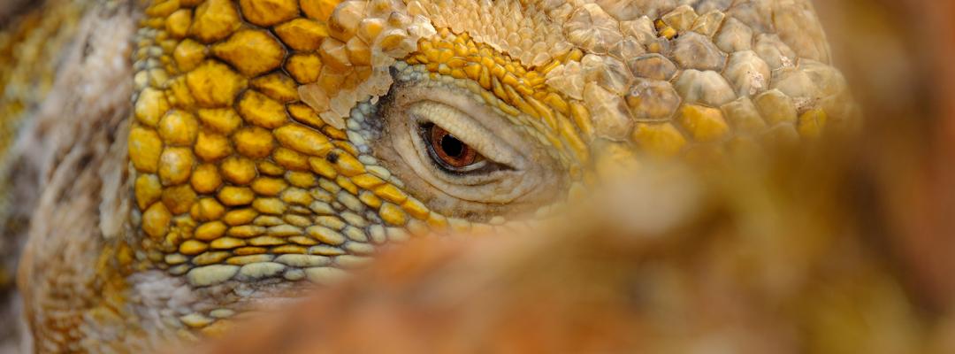 Iguană, Galapagos