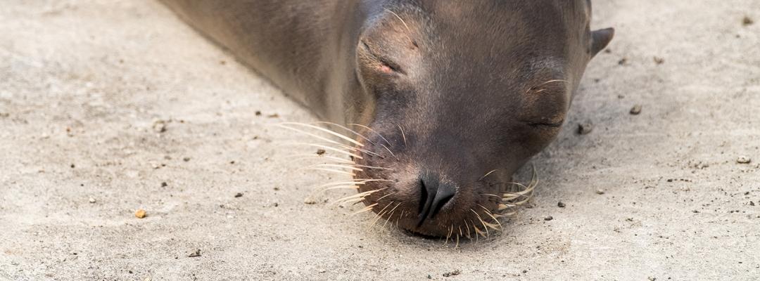 Leu de mare, Galapados