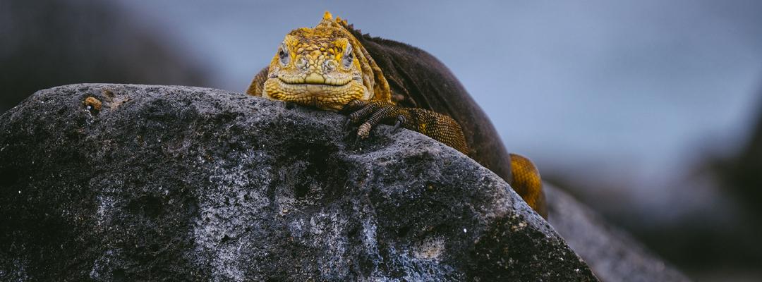 Iguană, Galapados